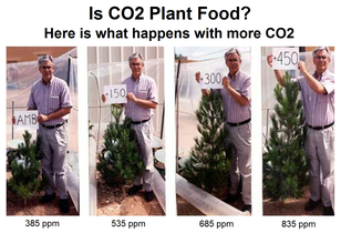 How CO2 affects pine trees